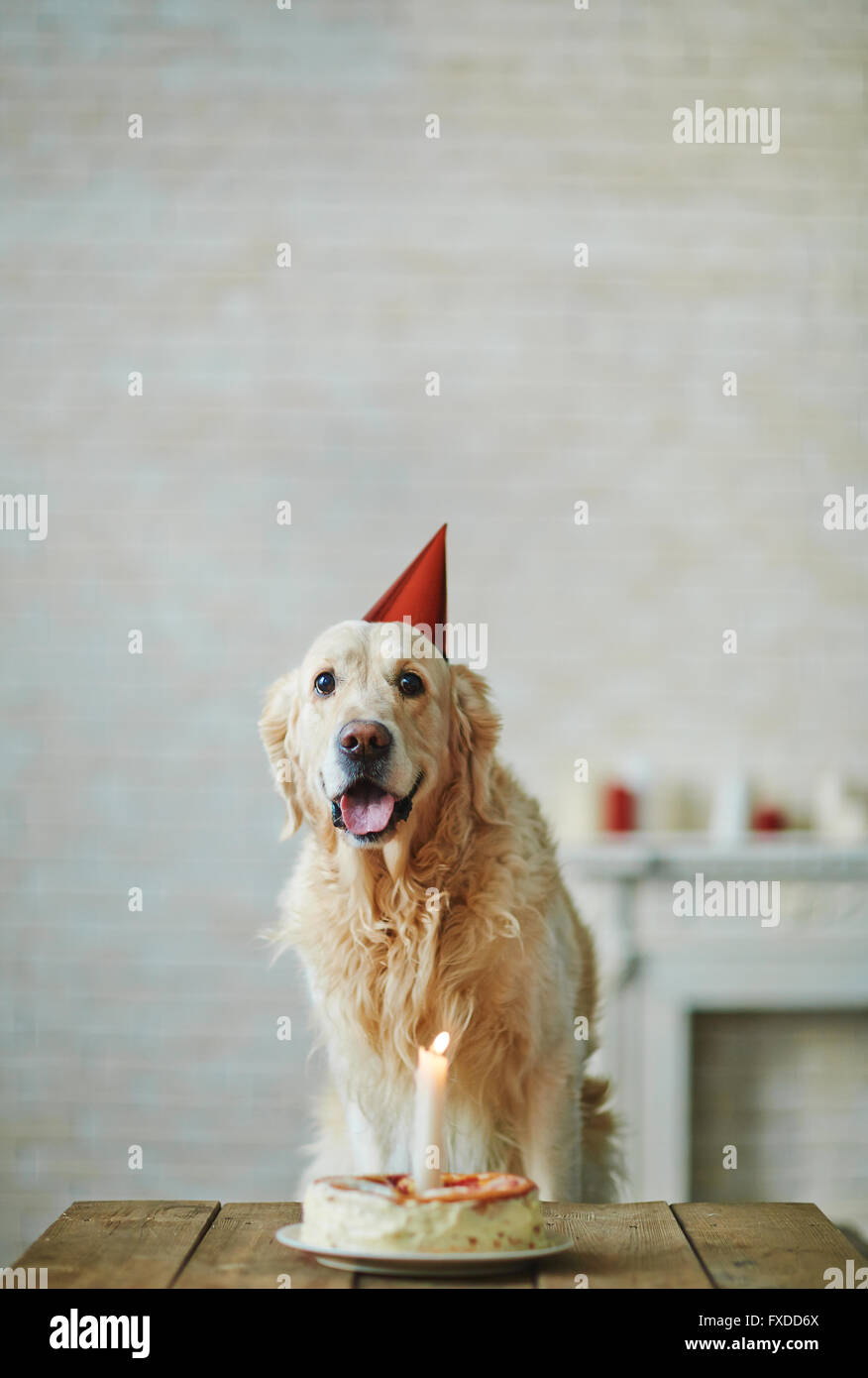 Dog Birthday Hat Stock Photos Images