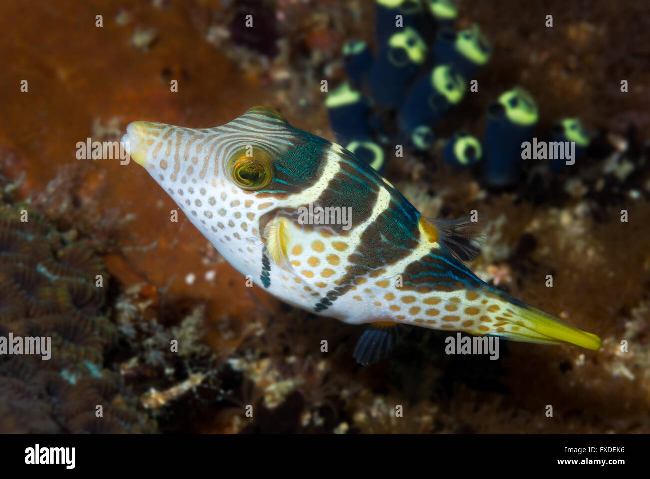 Black Saddled Toby (Canthigaster valentini) swimming past tunicates on a coral reef in the Philippines. Malapascua, November Stock Photo
