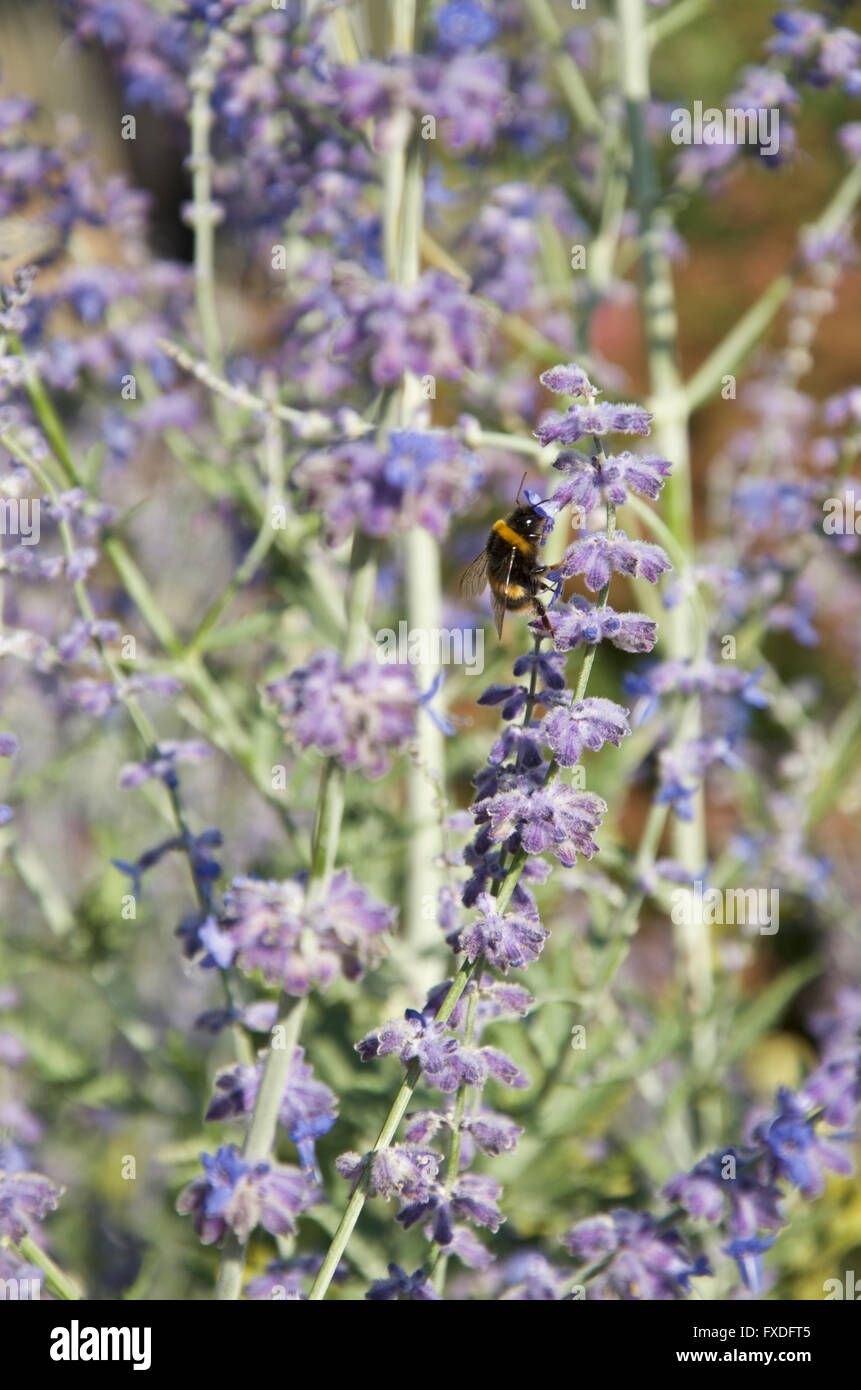 Bee on Nepeta or Cat Mint flowers - Stock Image