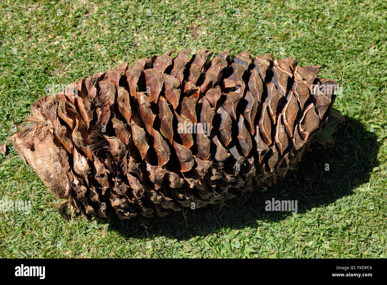 Blue agave pineapple core on a lawn at a tequila factory in Jalisco Mexico - Stock Image