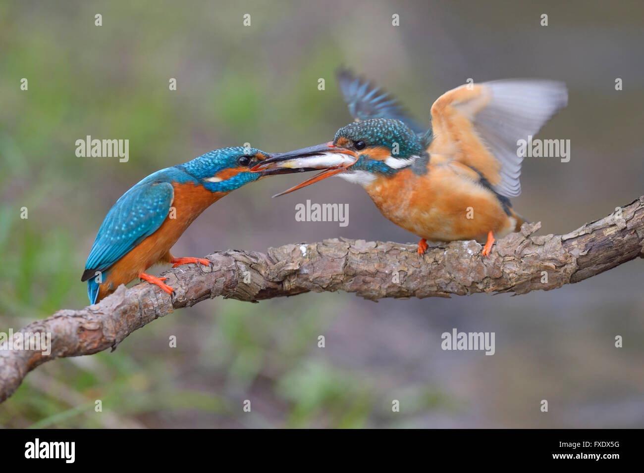 Kingfisher (Alcedo atthis), breeding pair, male handing over a fish to the female as a bridal gift, prey handover, - Stock Image