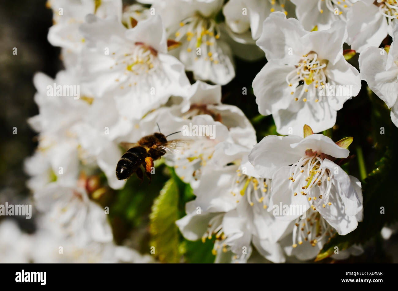 Bee collecting pollen from cherry blossoms. River Valley Jerte. Cáceres. Extremadura. Spain. Europe - Stock Image