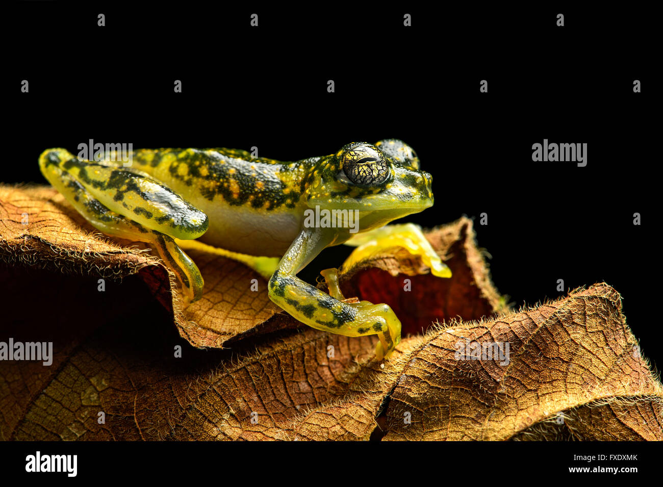 White-spotted Cochran Frog (Sachatamia albamoculata) sitting on leaf, Choco rainforest, Canande River Nature Reserve, Stock Photo