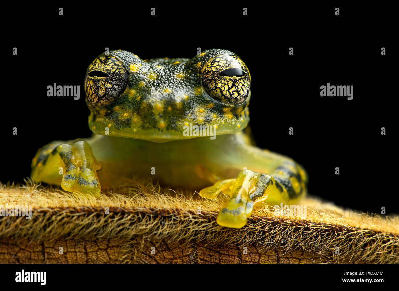 White-spotted Cochran Frog (Sachatamia albamoculata) sitting on hairy leaf, Choco rainforest, Canande River Nature - Stock Image