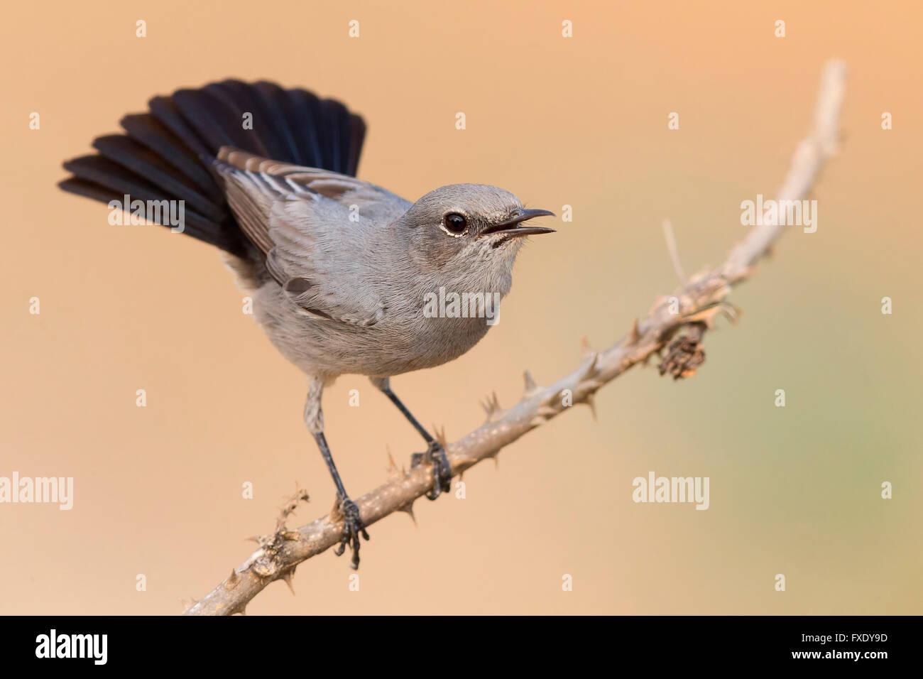 Blackstart (Oenanthe melanura), displaying on a twig, Ayn Hamran, Dhofar, Oman - Stock Image