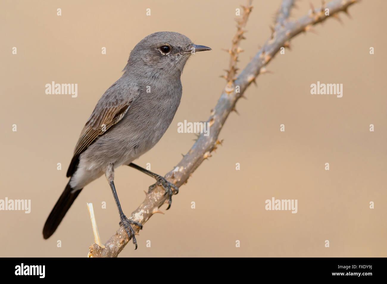 Blackstart (Oenanthe melanura), perched on a twig, Ayn Hamran, Dhofar, Oman - Stock Image