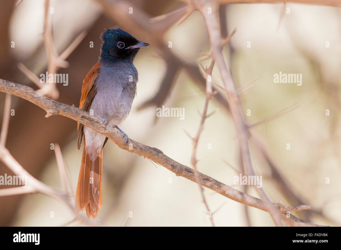 African Paradise Flycatcher (Terpsiphone viridis ssp harteti), adult perched on a branch, Ayn Hamran, Dhofar, Oman Stock Photo