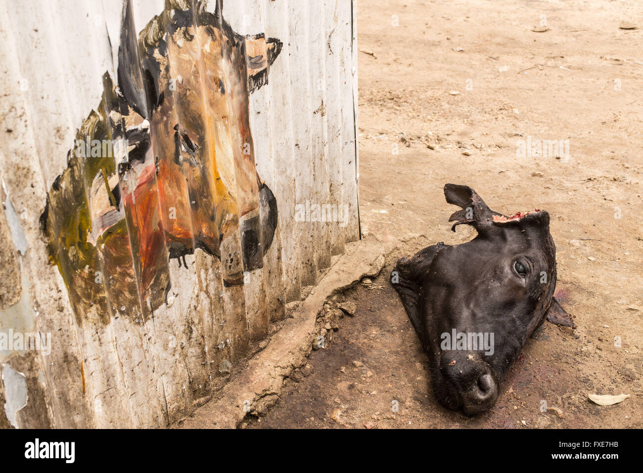 Head Of A Slaughtered Black Cow Laying On The Ground Next