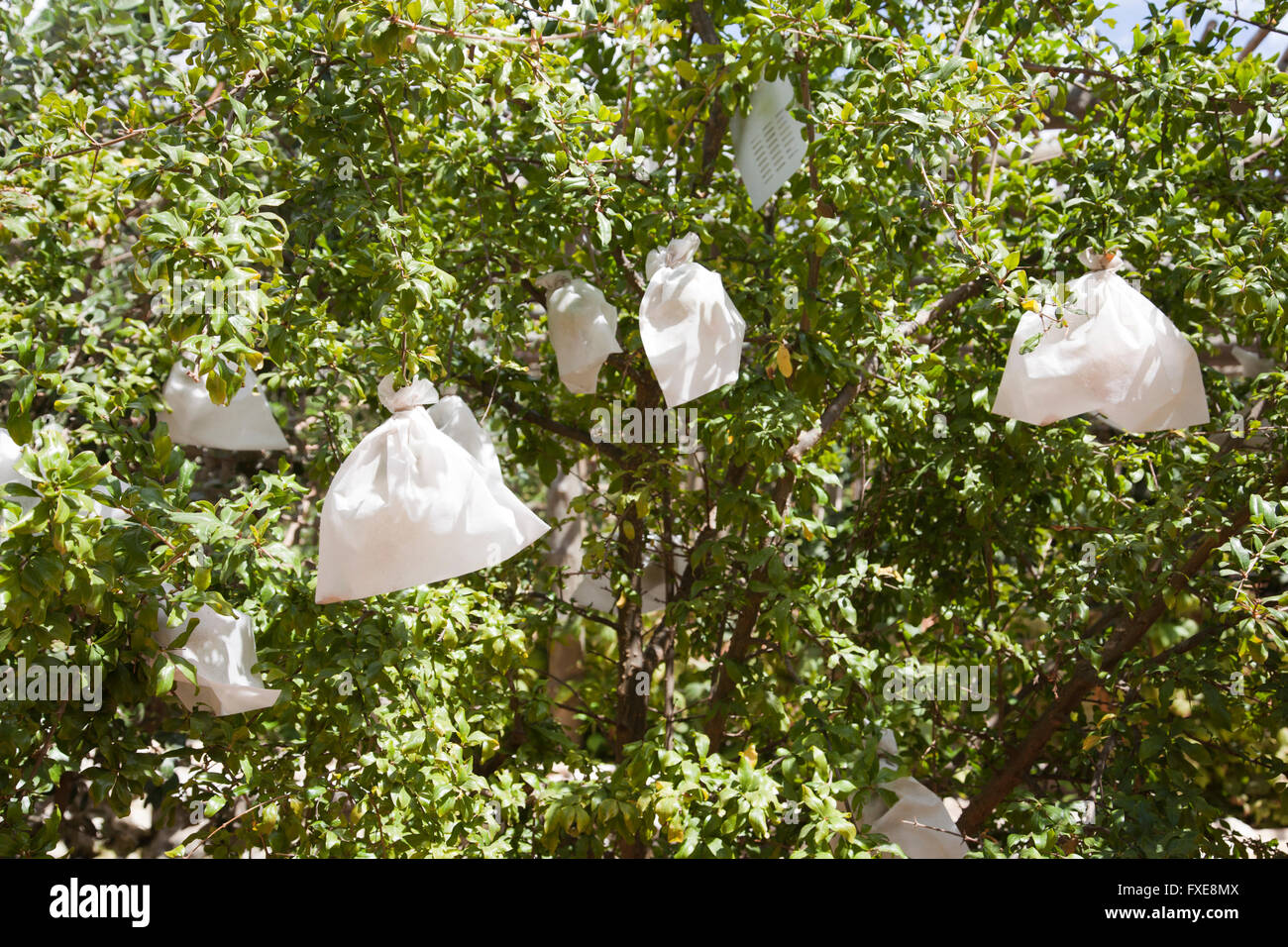 White Plastic Bags on Tree for Protection - Stock Image