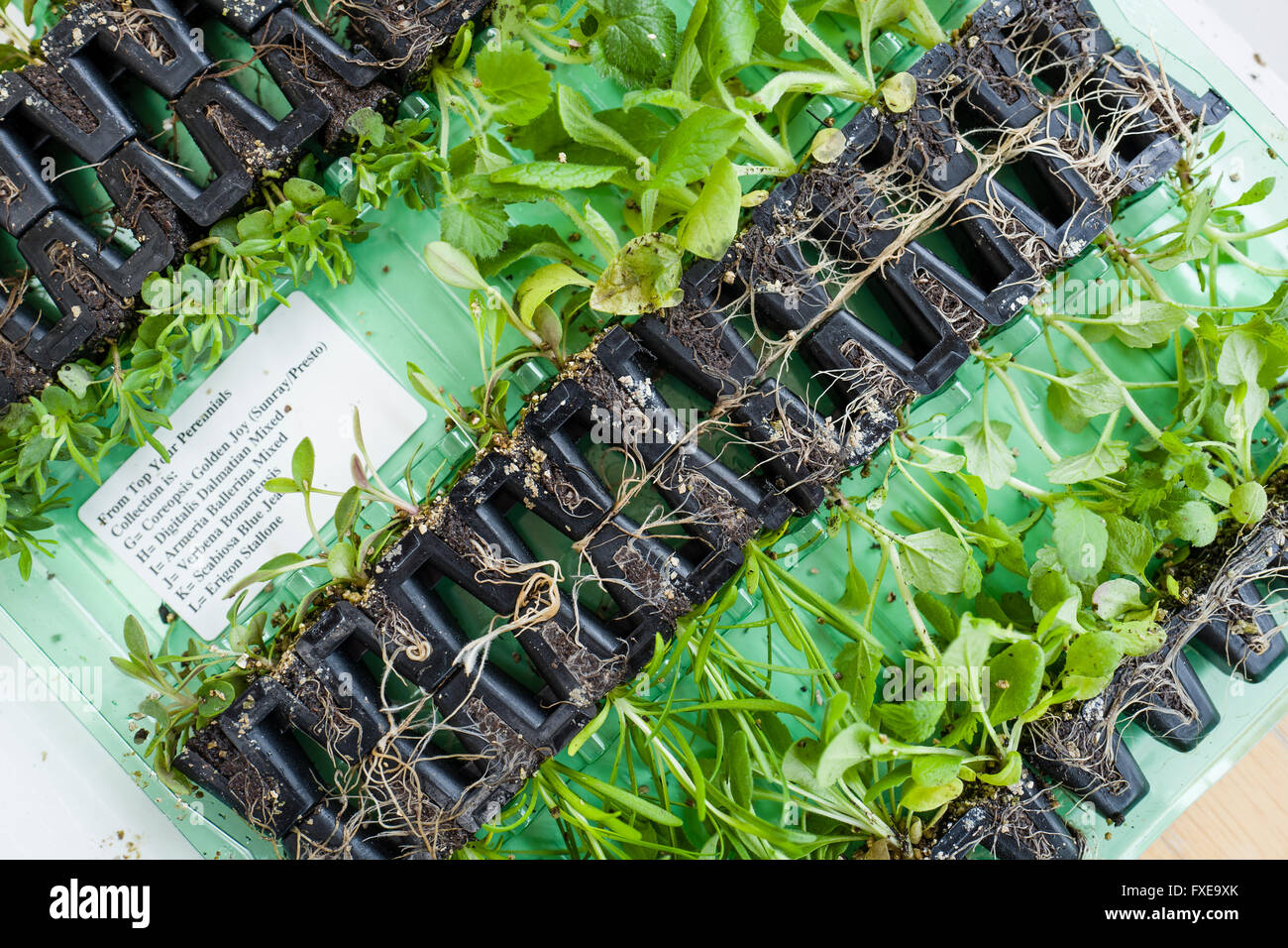 Small perennial plant plugs delivered by mail oerder - Stock Image