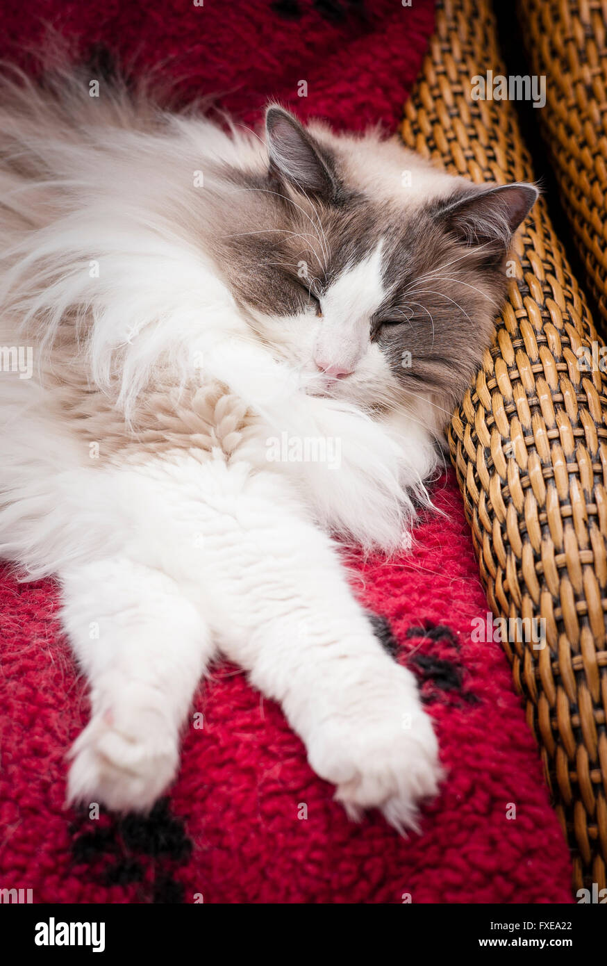 A young Ragdoll cat comfortable on a conservatory cane chair and red cushion - Stock Image