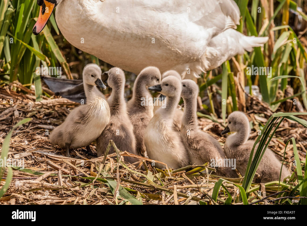 A family of cygnets. - Stock Image