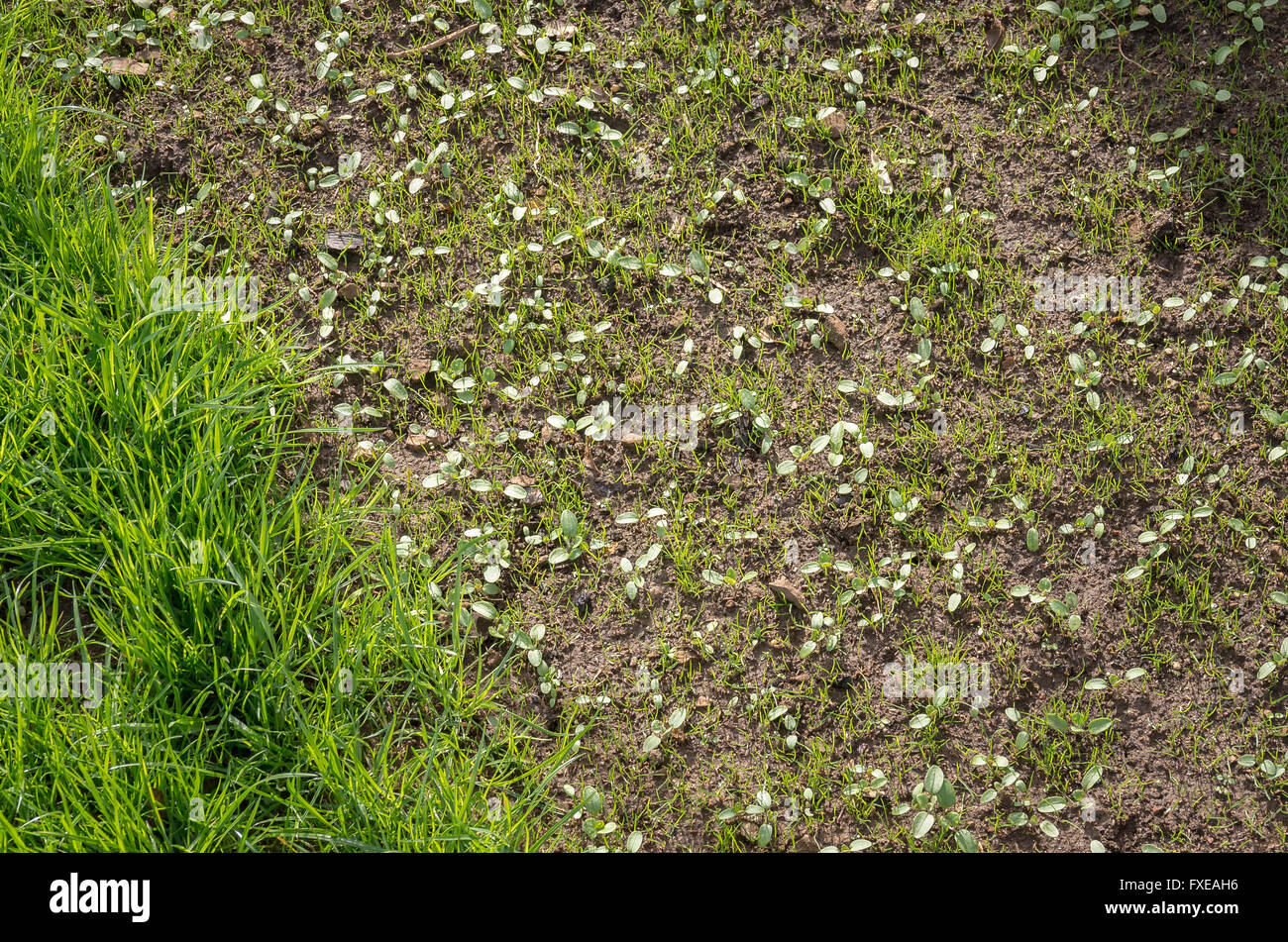 Reseeded section of a grass lawn showing growth of unidentified seedlings in a lawn seed mixture - Stock Image