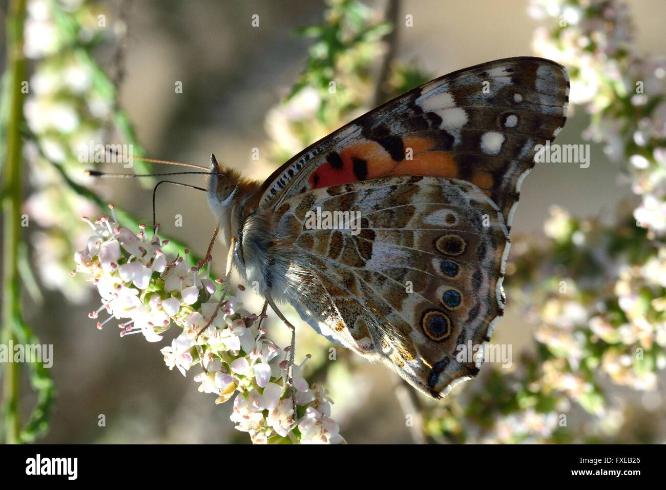 The Painted Lady (Vanessa cardui). Butterfly in the family Nymphalidae nectaring under dappled sunlight, with proboscis - Stock Image