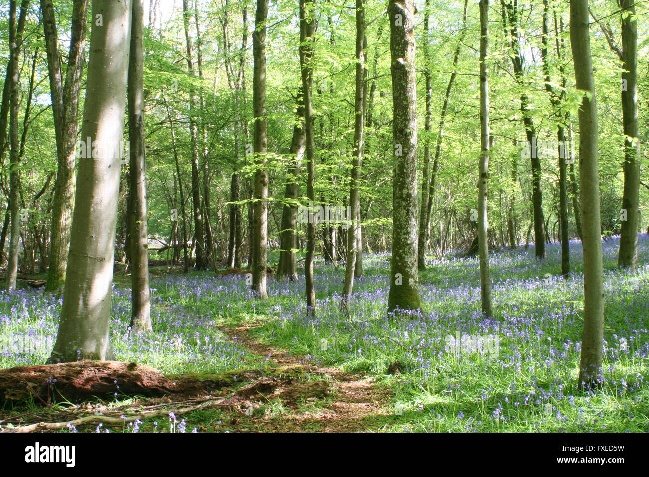 Bluebell Woods Stock Photo