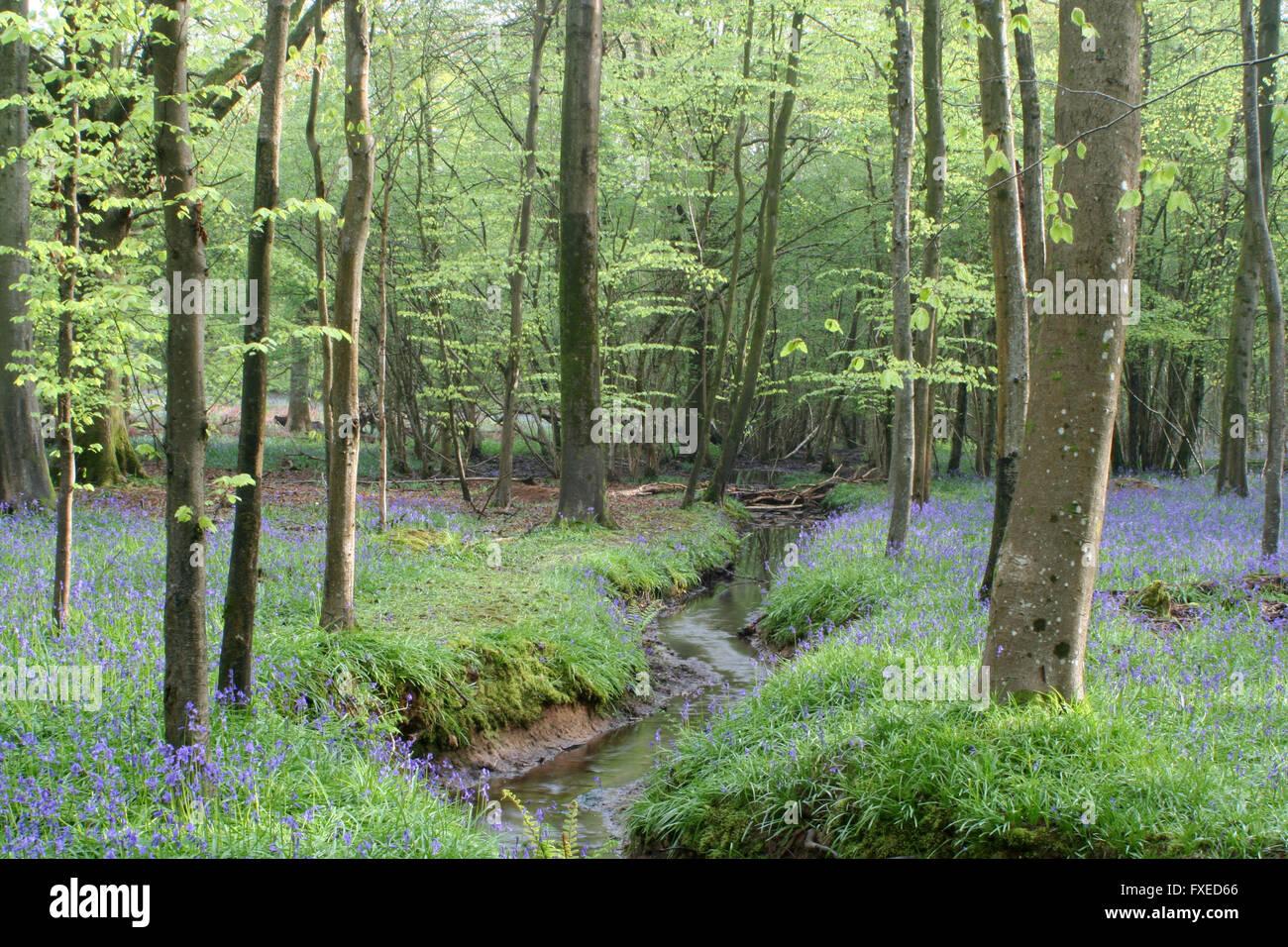 Bluebell Woodland Stock Photo