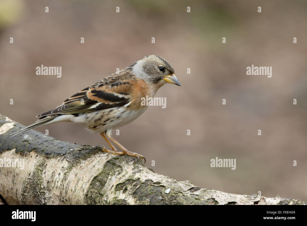 Brambling,  Fringilla montifringilla, single female on branch, Warwickshire, April 2016 - Stock Image