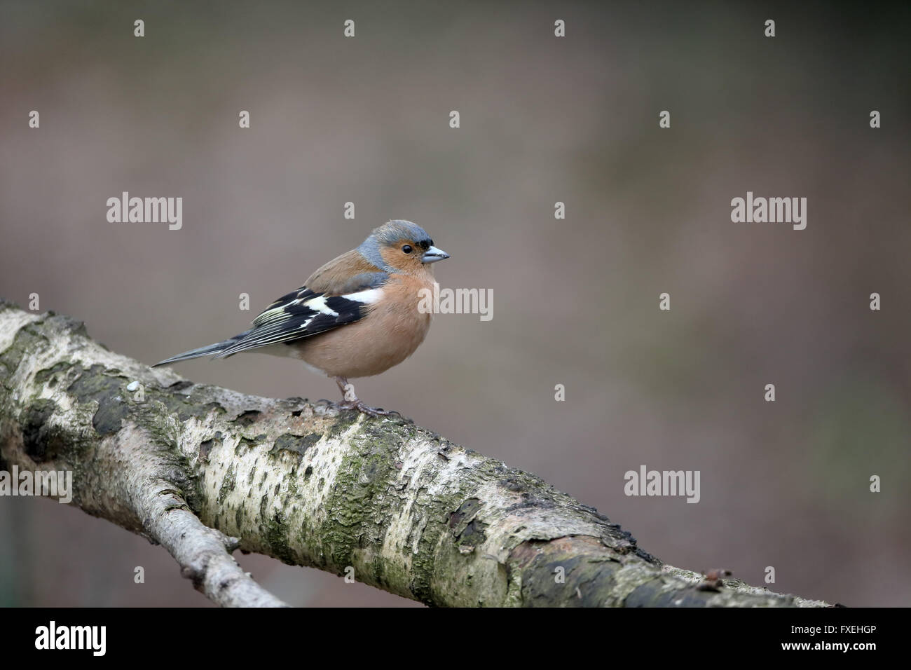 Chaffinch, Fringilla coelebs, single male on branch, Warwickshire, April 2016 - Stock Image