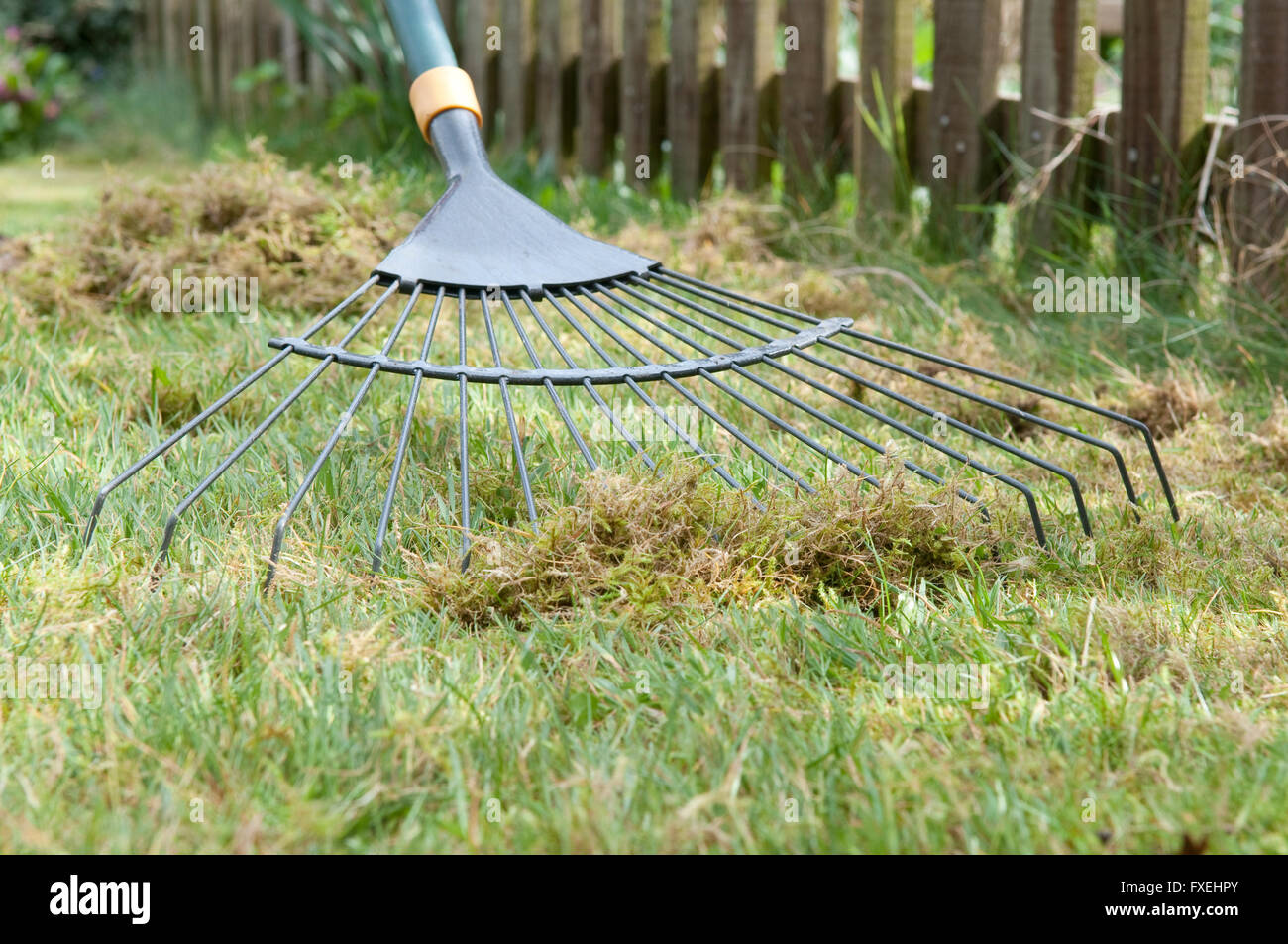 Scarifying garden lawn to remove moss using leaf rake - Stock Image