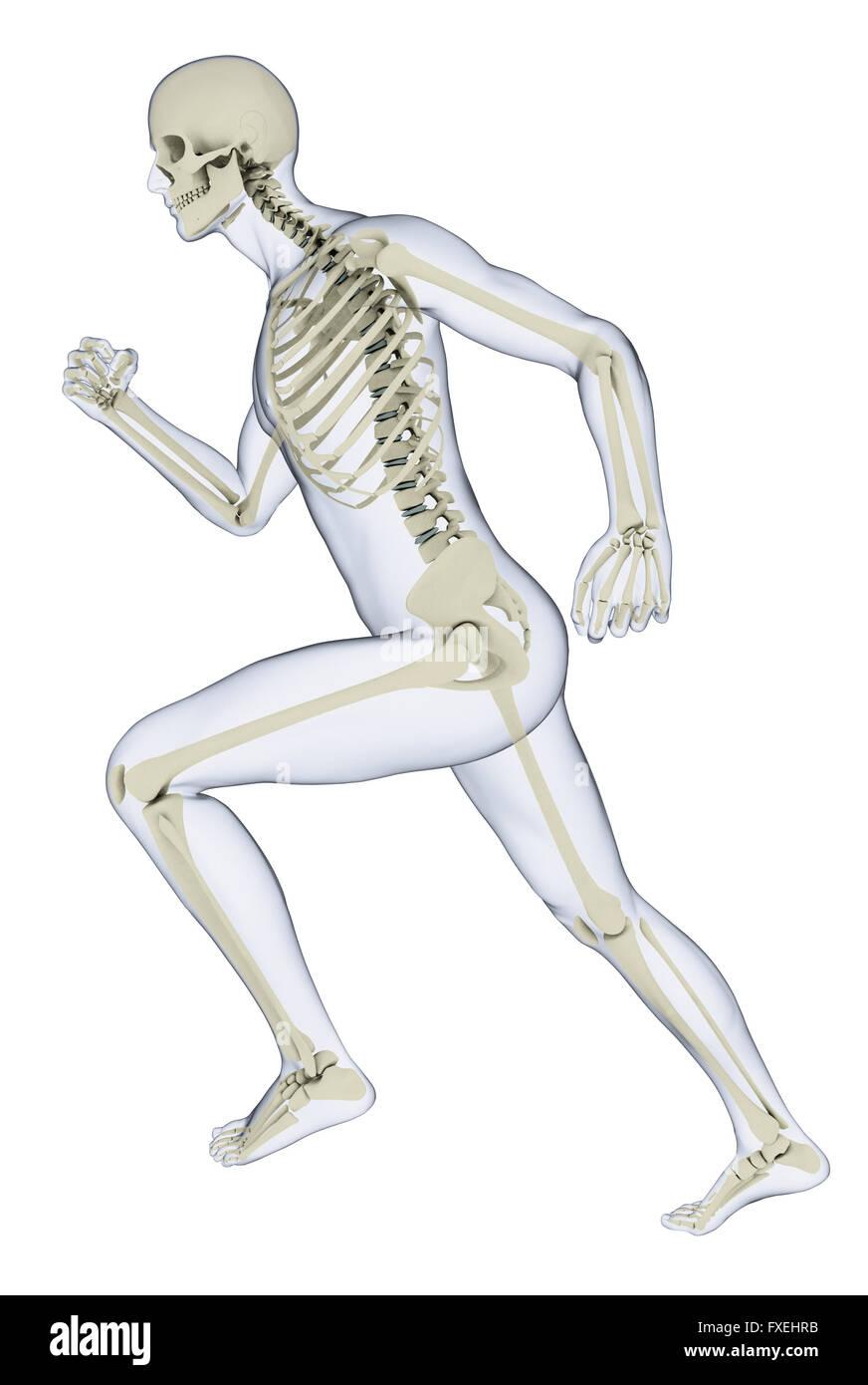 human skeleton in running position stock photos human skeleton in