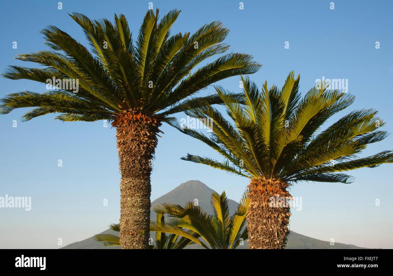 Sago Palms and peak of Mt. Kaimondake volcano, Kyushu, Japan - Stock Image