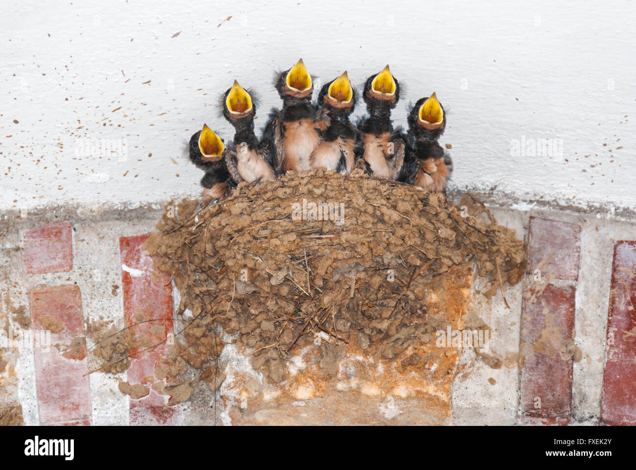 Barn swallow nestlings in their nest calling for food - Stock Image