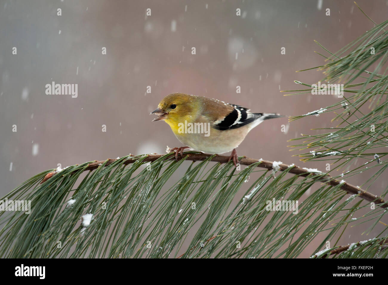 Goldfinch chirps while perched on pine branch in winter - Stock Image