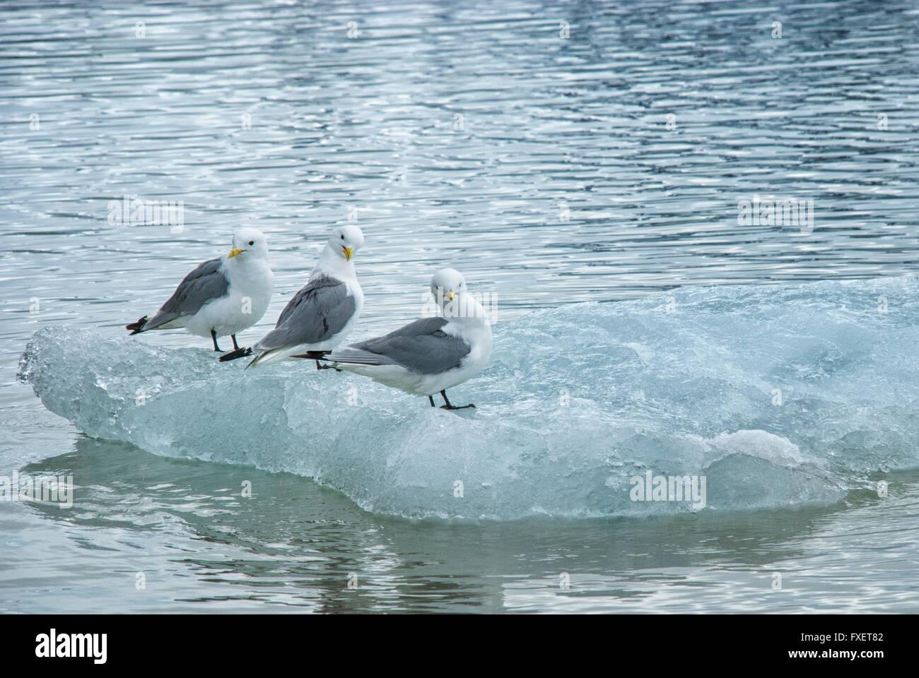 Three Glaucous Gulls, Larus hyperboreus, perched on an iceberg in Spitsbergen, Svalbard Archipelago, Norway Stock Photo