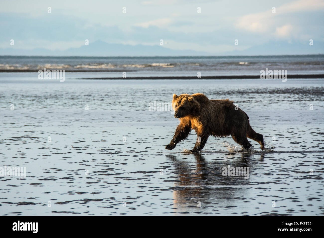 Adult Wild Grizzly Bear, Ursus arctos, running across the tidal flats of the Cook Inlet, Alaska, USA - Stock Image