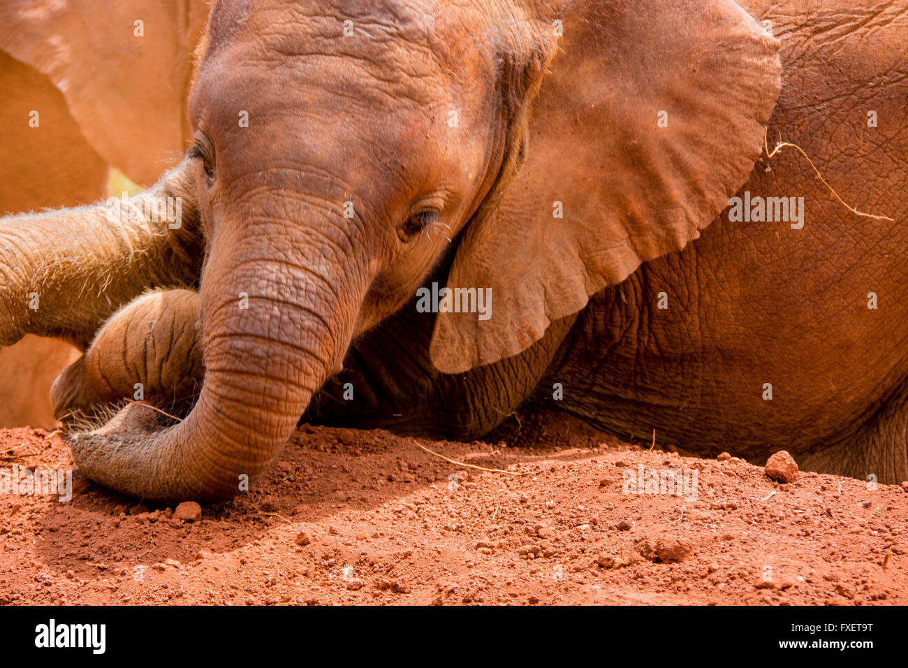 Cute Orphan Baby Elephant,  Loxodonta africana, taking a dust bath at the Sheldrick Elephant Orphanage, Nairobi, - Stock Image