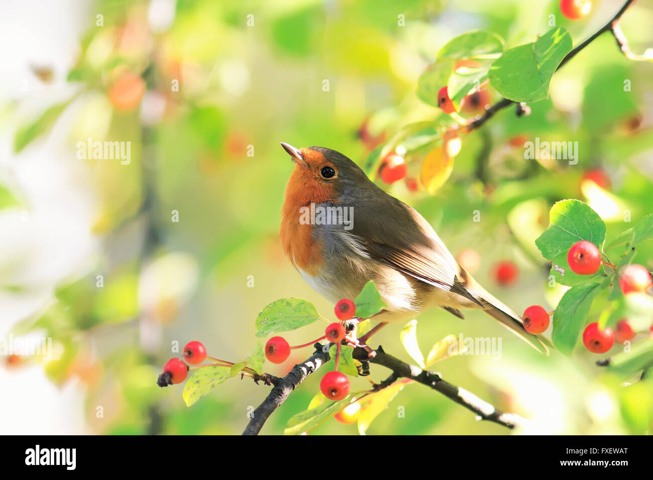 animal bird Robin sits looking beautiful Park branch apples berries red ginger - Stock Image