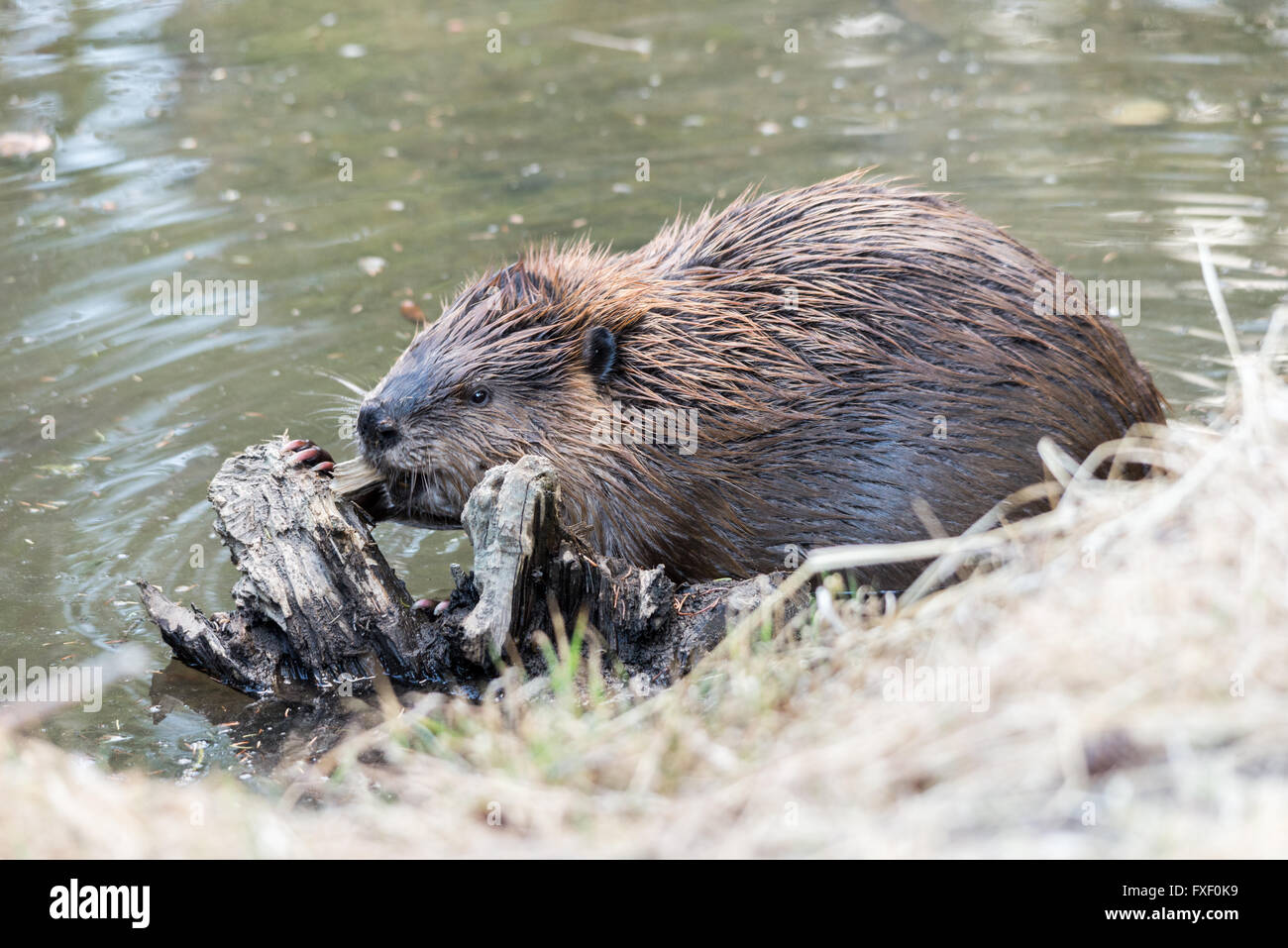 Beaver Chewing Stock Photos & Beaver Chewing Stock Images - Alamy