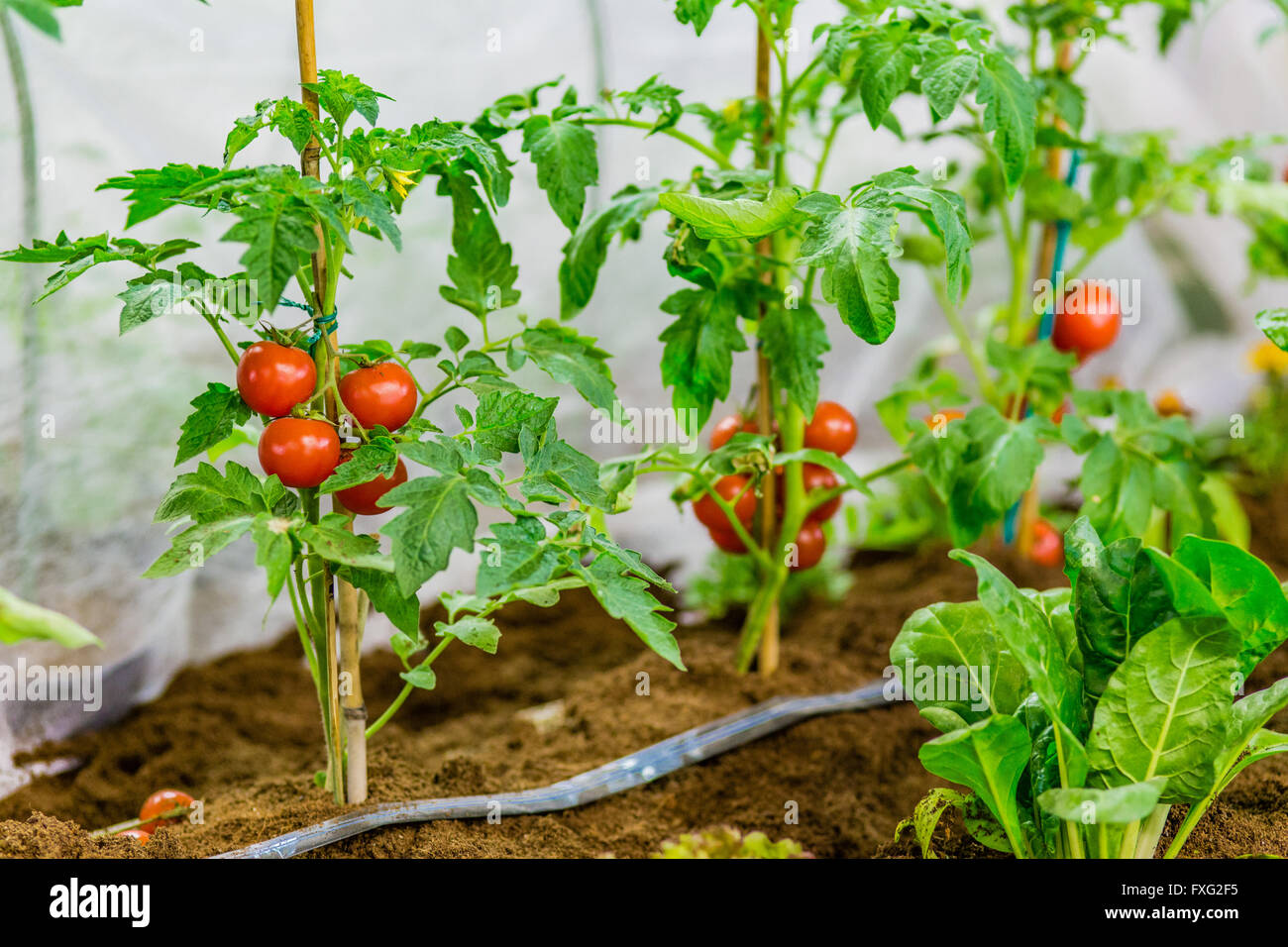 must tomato for steps the this finished to time take its tomatoes your them those year peppers up clean and get are garden fall when