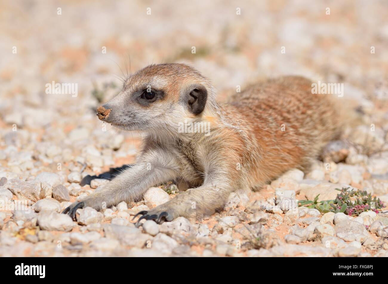 Meerkat (Suricata suricatta), young male, lying down on gravel, Kgalagadi Transfrontier Park, Northern Cape, South - Stock Image