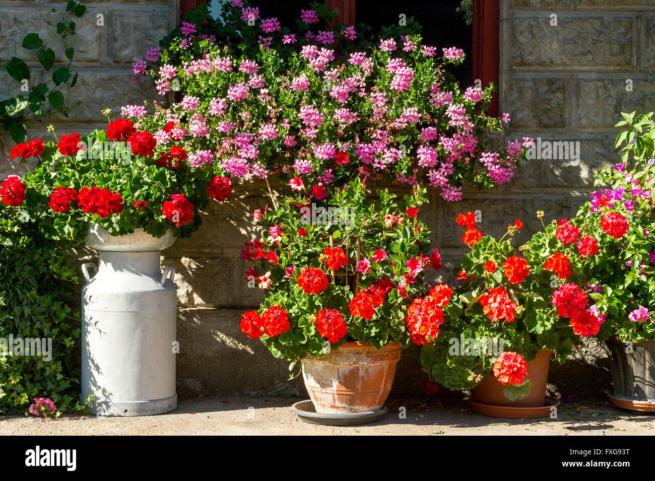 Geraniums (Pelargonium spp.) And other summer flowers in front of old farmhouse, Flower Arrangement, Piesenkam, - Stock Image