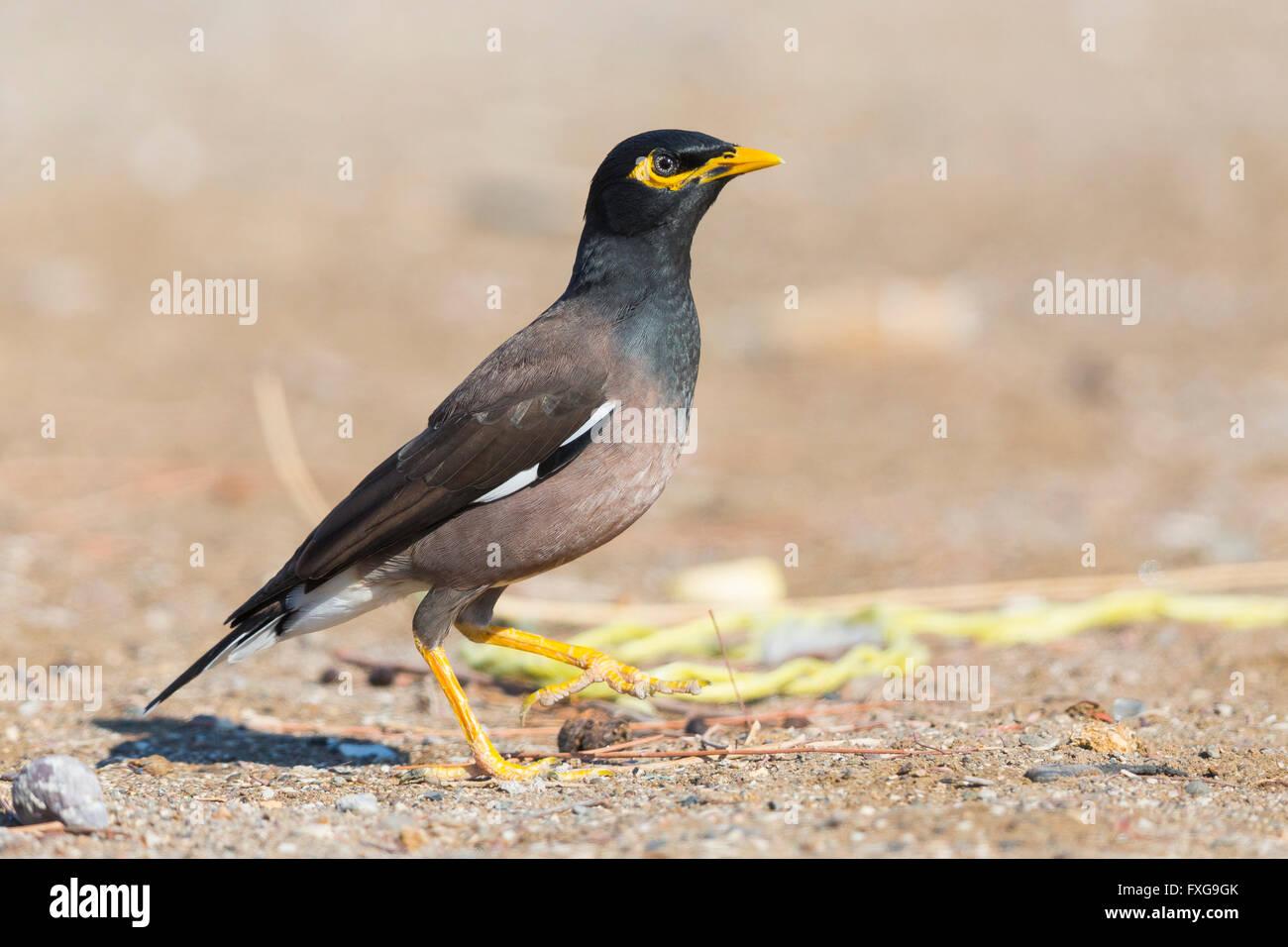Common Myna (Acridotheres tristis), on the ground, Liwa, Al Batinah, Oman - Stock Image