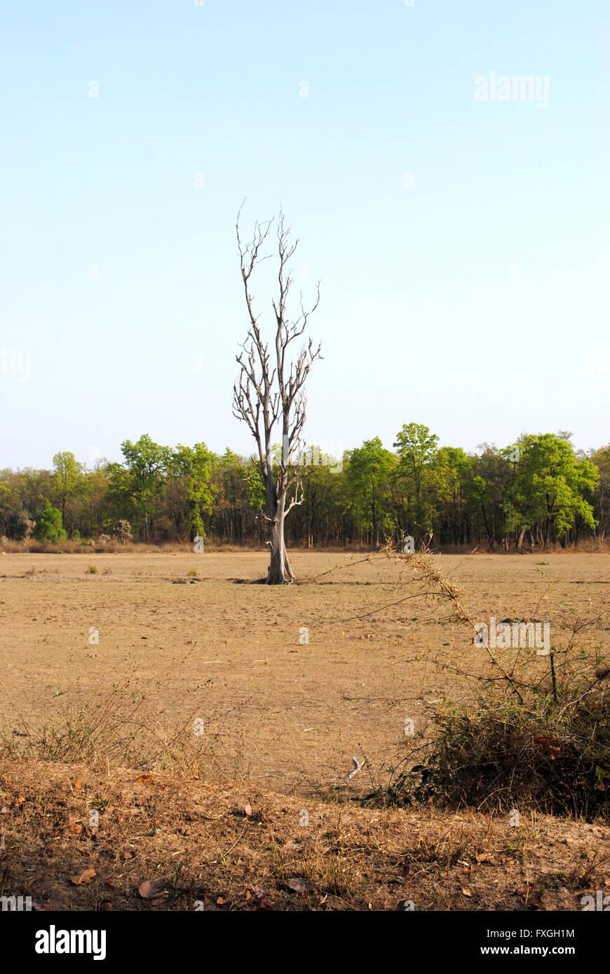 Alone in Jungle, Bandhavgarh National Park, Madhya Pradesh, India - Stock Image