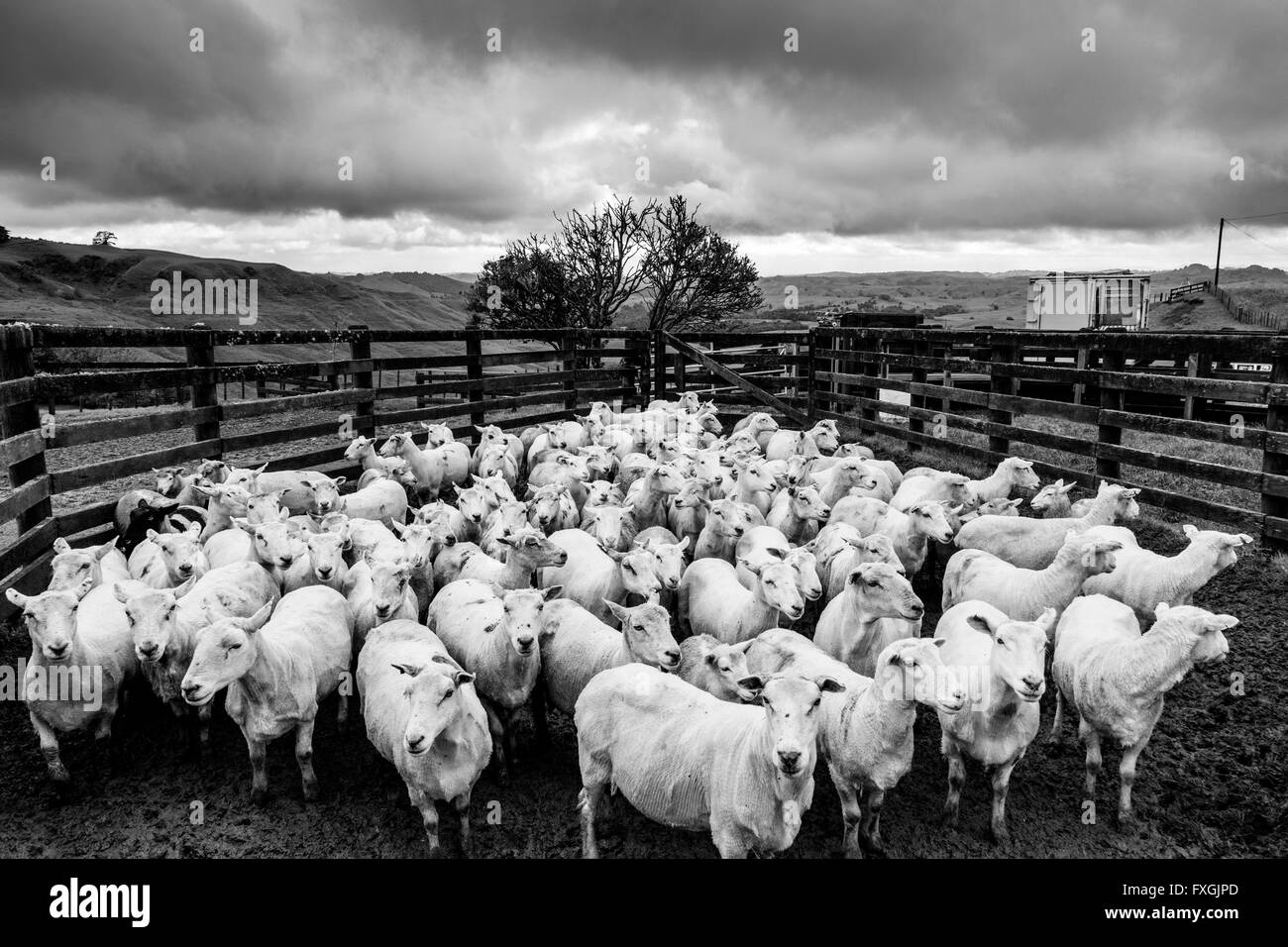 Sheep In A Pen Waiting To Be Sorted, Sheep Farm, Pukekohe, New Zealand - Stock Image