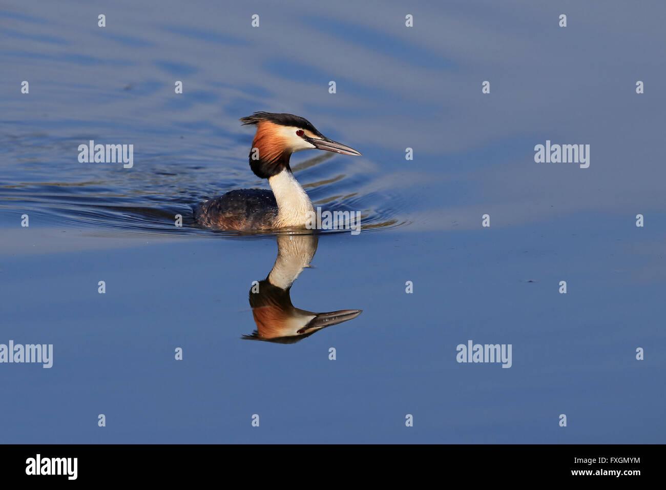 Great Crested Grebe (Podiceps cristatus) - Stock Image