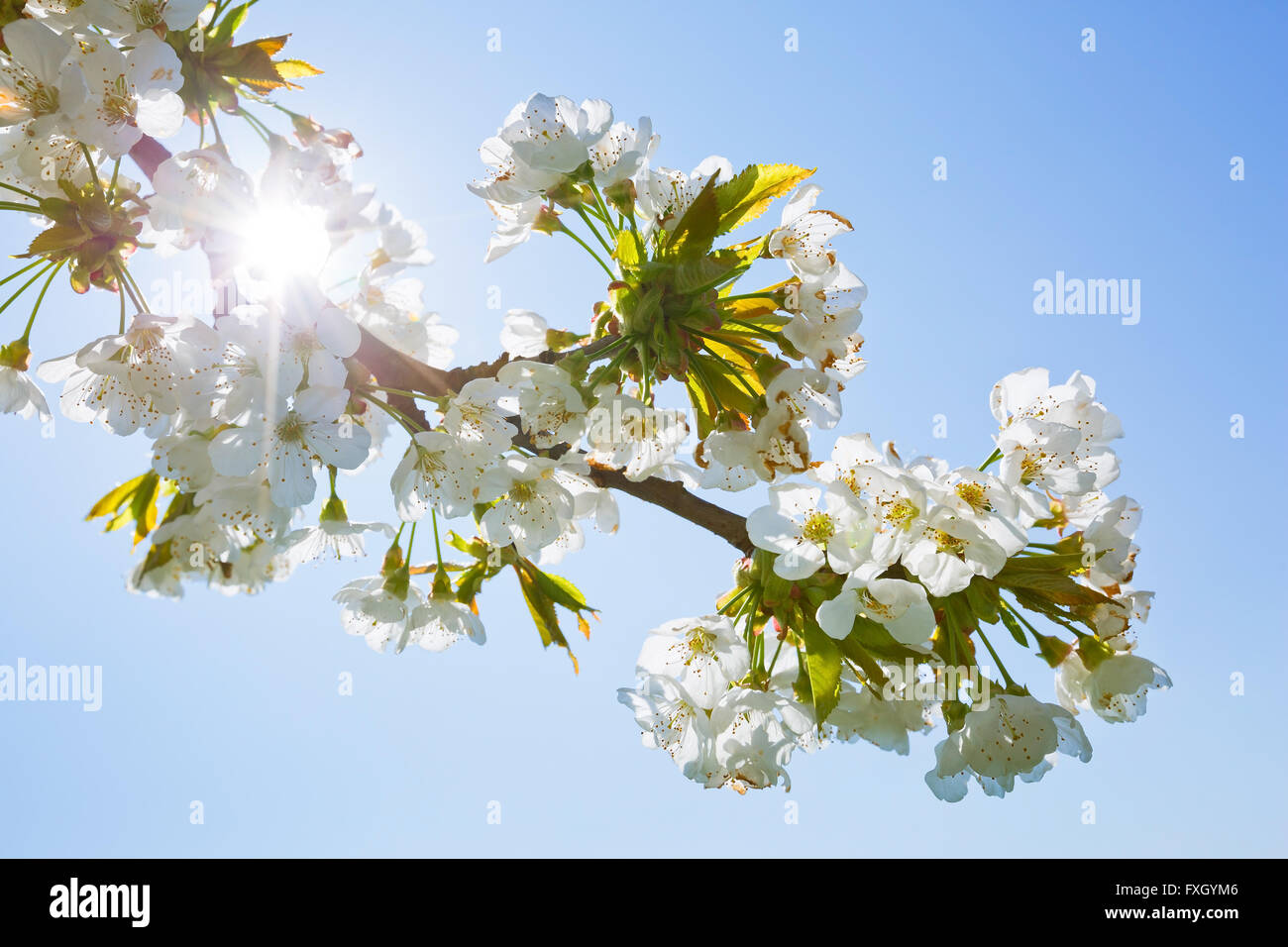 Twig of a cherry tree in blossom. Stock Photo