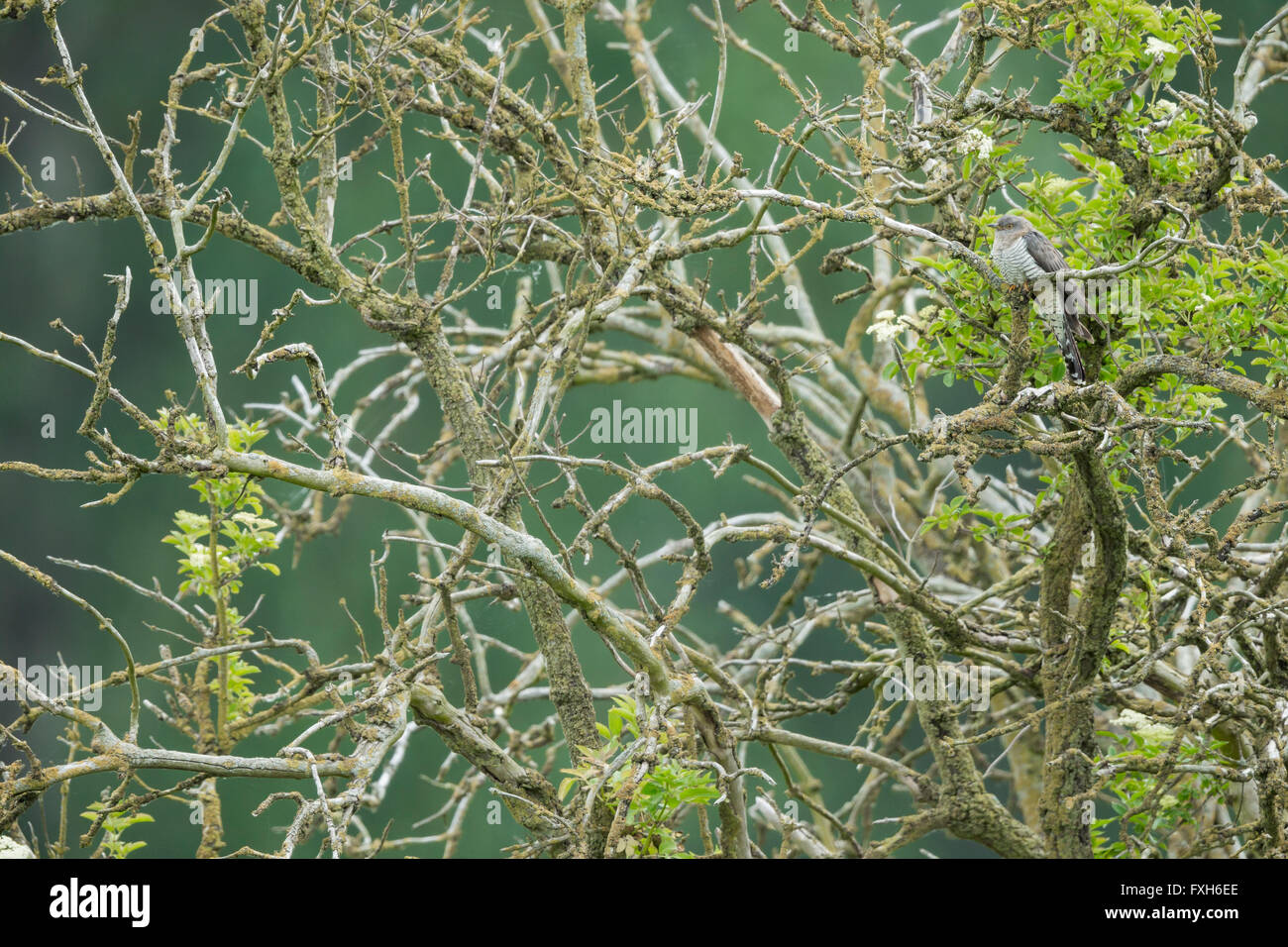 Common cuckoo Cuculus canorus, adult female, perched in lichen-covered tree, Lakenheath Fen, Suffolk, UK in June. - Stock Image