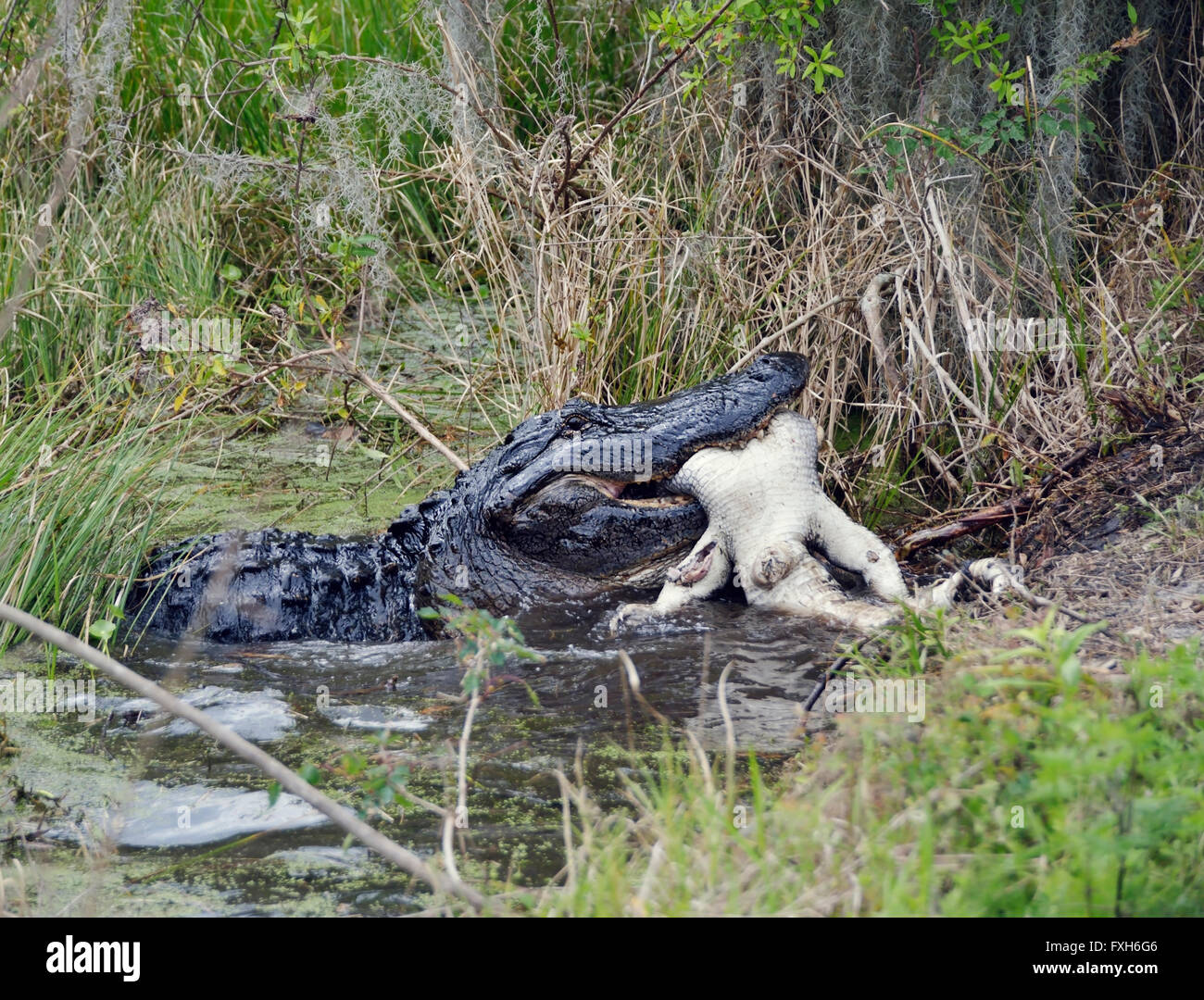 Large Florida Alligator Eating An Alligator Stock Photo 102411238