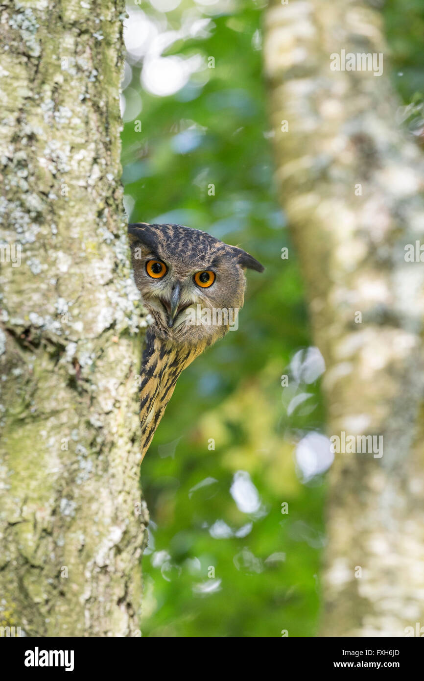 Eurasian eagle owl Bubo bubo, adult female, peering around trunk, Hawk Conservancy Trust, Andover, Hampshire in - Stock Image