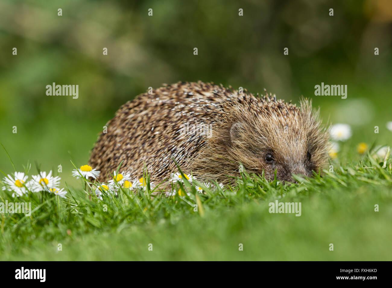 European hedgehog Erinaceus europaeus, adult male, curled up asleep in beech leaves, Knowle, West Midlands, UK in - Stock Image