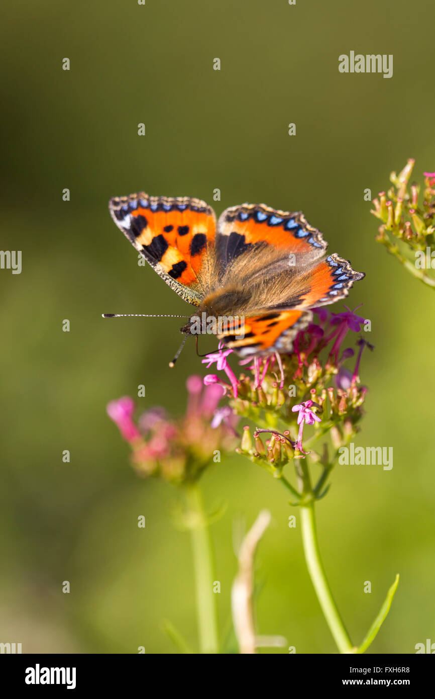 Small tortoiseshell Aglais urticae, imago, nectaring along clifftop at Brean Down, Somerset, UK in August. - Stock Image