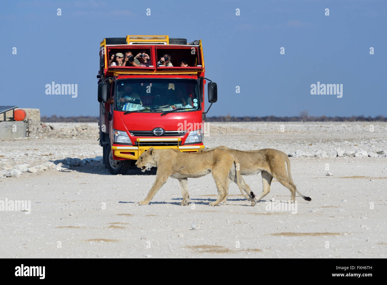 Female lions (Panthera leo) crossing road watched by safari vehicle in Etosha National Park, Namibia - Stock Image
