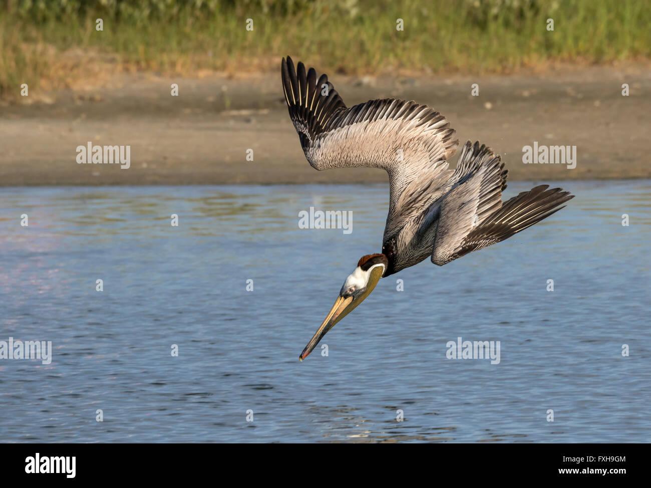 Brown pelican (Pelecanus occidentalis) hunting, Galveston, Texas, USA. - Stock Image