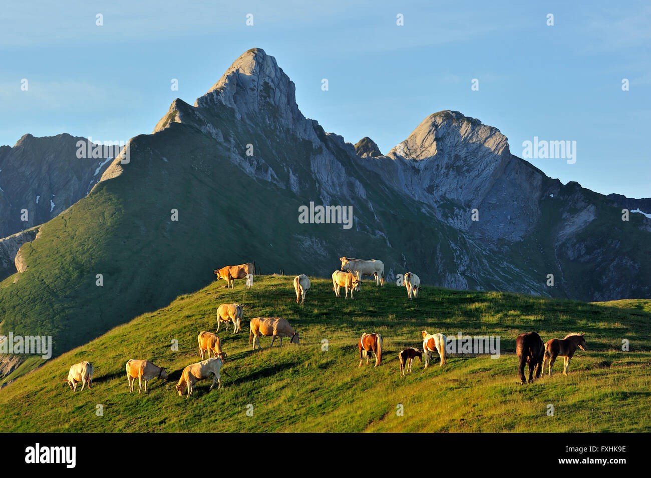 Domestic cows (Bos taurus) and free roaming horses in the Pyrénées-Atlantiques, Pyrenees, France - Stock Image