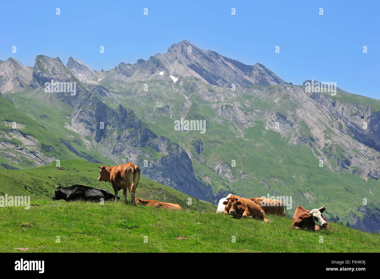 Cows (Bos taurus) resting in pasture along the Col du Soulor, Hautes-Pyrénées, Pyrenees, France - Stock Image