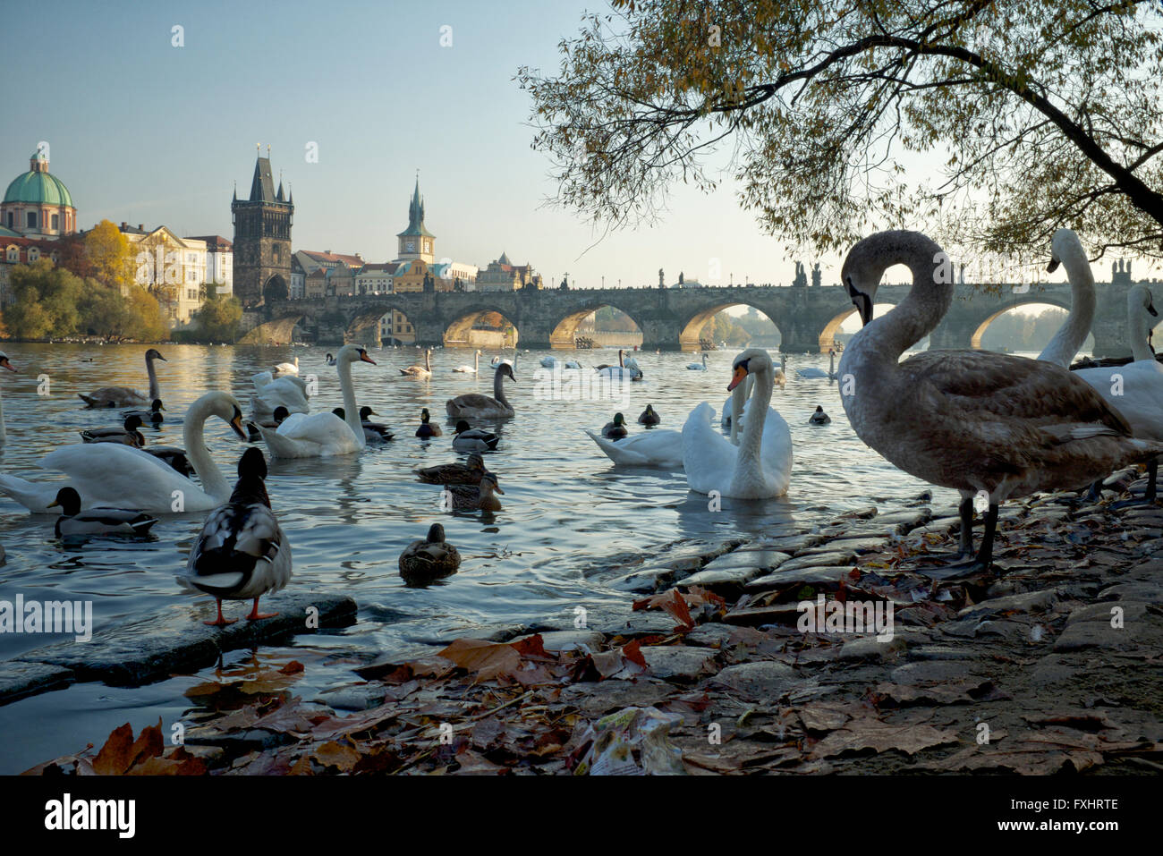 The famous swans of the Vltava River, Prague - Stock Image